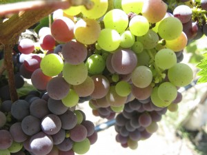 Grapes Ripening in Napa Valley